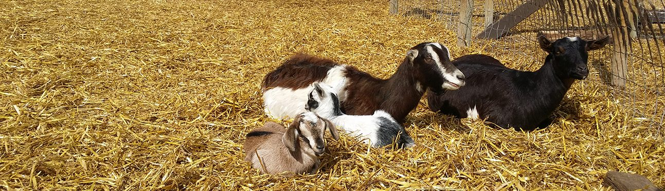 Baby Goats | Butterfield Acres Farm Calgary